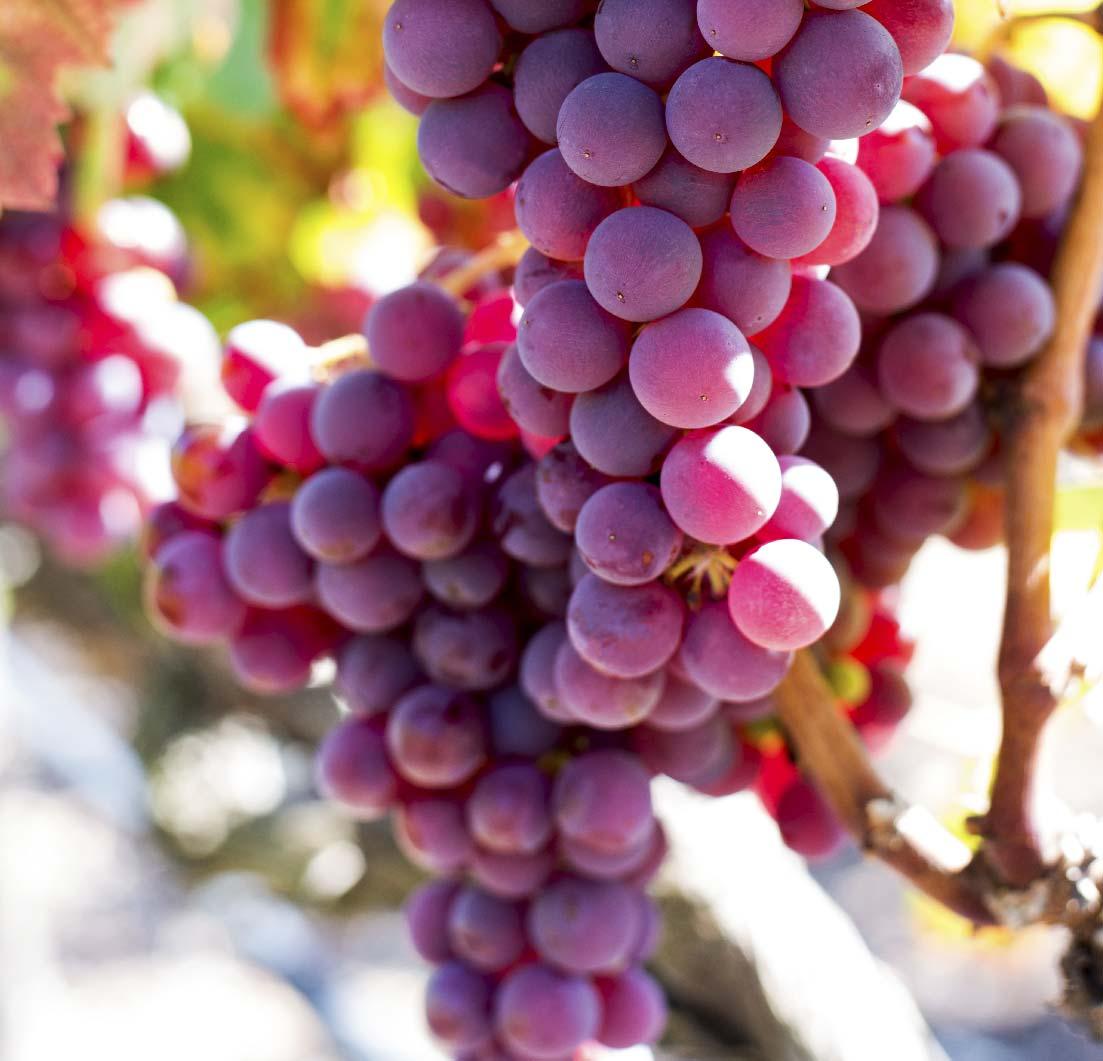 uva-de-mesa-colorsave