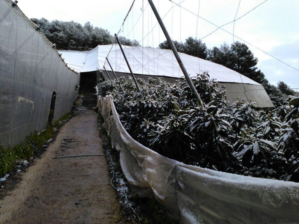 los cultivos tras las heladas