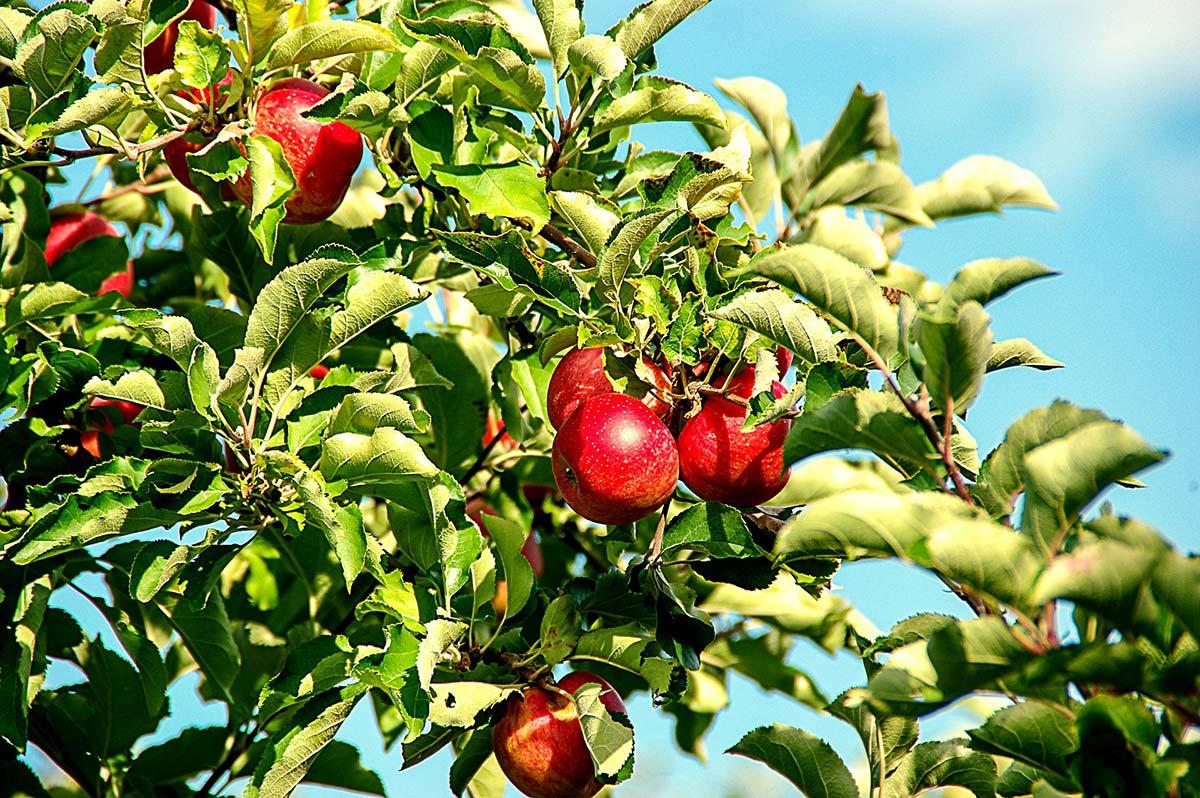Logra manzanas más rojas de forma natural