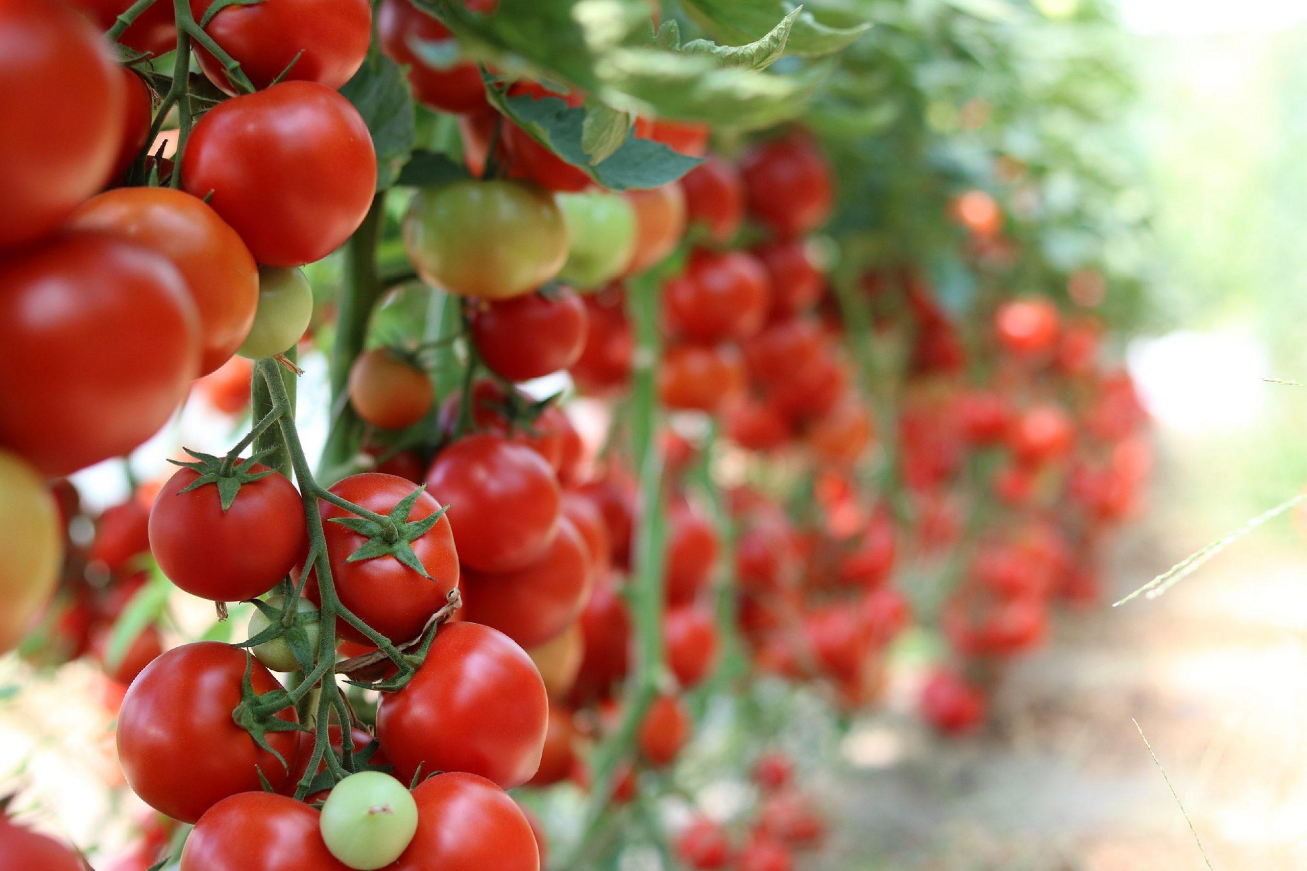 insecticida ecológico para combatir la Tuta absoluta