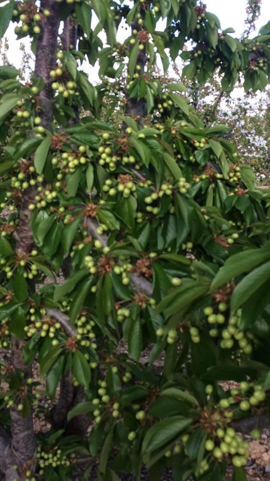 Proceso de cuajado y engorde en las cerezas