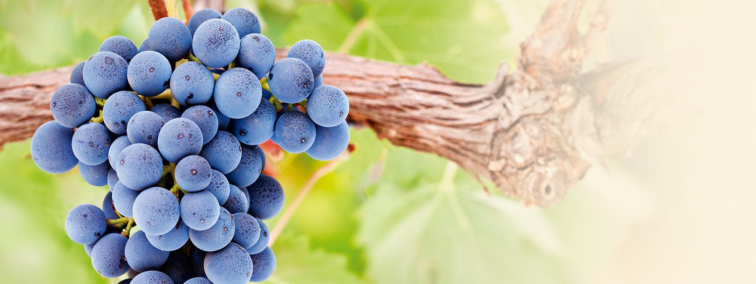 Prevenir el oídio en la viña