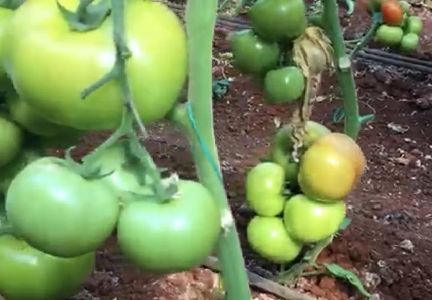 Caso de éxito en Turquía: aplicación productos LIDA en tomate